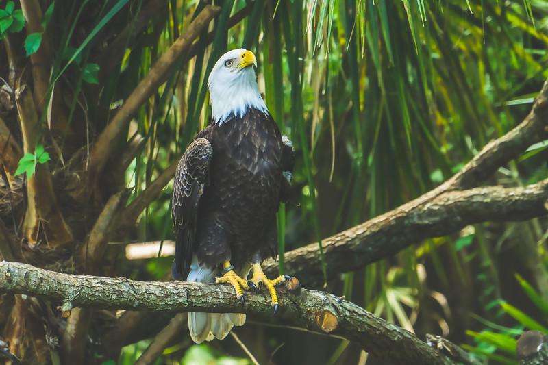 Bald Eagle at Brevard Zoo in Melbourne Florida