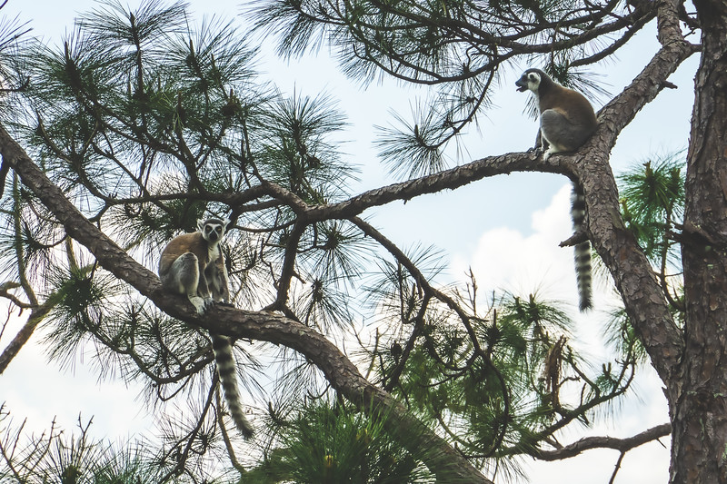 Lemurs at Brevard Zoo in Melbourne Florida