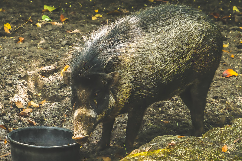 Wild Boar at Brevard Zoo in Melbourne Florida