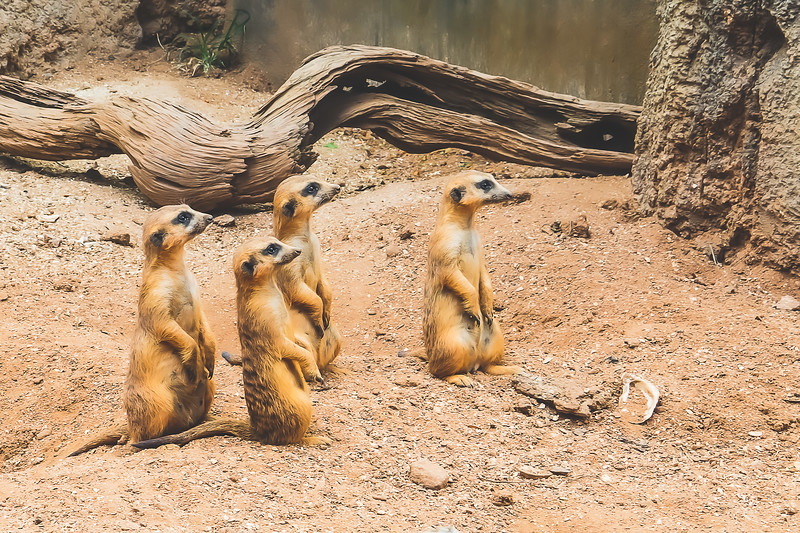 Meerkats at Brevard Zoo in Melbourne Florida