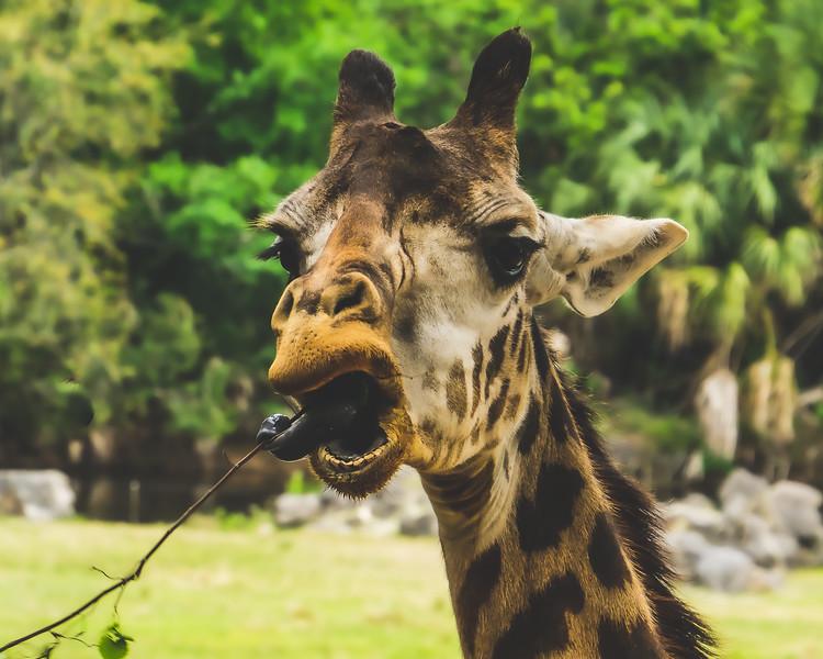 Giraffe at Brevard Zoo in Melbourne Florida
