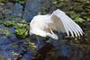 A great white egret preening at the Corkscrew Swamp Sanctuary, Florida, USA.