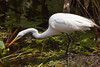 The great white egret fishing at the Corkscrew Swamp Sanctuary, Florida, USA.