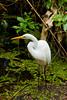 The great white egret at the Corkscrew Swamp Sanctuary, Florida, USA.