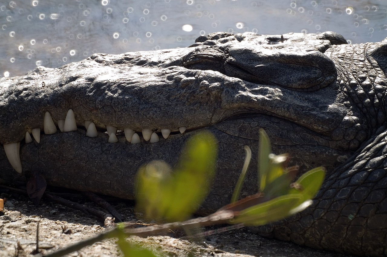 Florida Crocodile - ding darling preserve