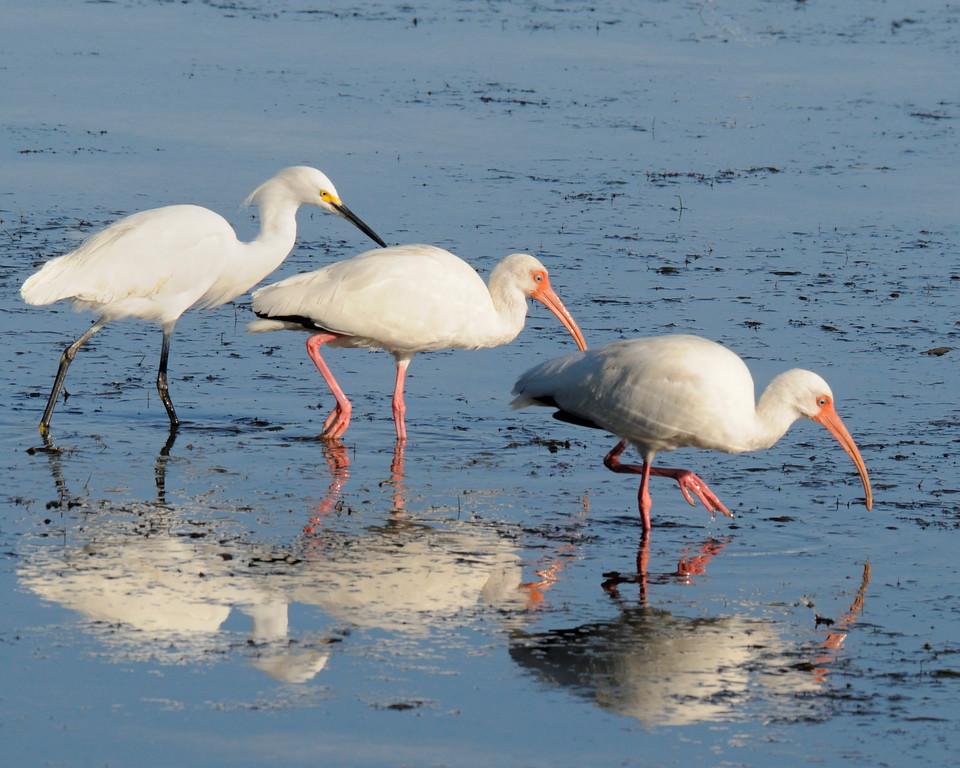 White Ibis and Snowy Egret