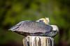 A brown pelican resting at Everglades City, Florida, USA.