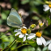 Great Southern White, Everglades National Park, Florida