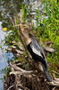 An Anhinga waterbird perched on a branch beside a pond on the Anhinga Trail in the Everglades National Park, Florida, USA.
