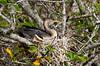 A female Anhinga on the nest along the Anhinga Trail in the Everglades National Park, Florida, USA.