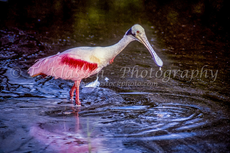 A Roseate Spoonbil in Everglades National Park, Florida, USA.