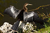 An Anhinga drying its wings beside a pond along the Anhinga Trail in Everglades National Park, Florida, USA.