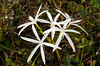 A closeup of the Swamp Lily, Crinum americanum in the wetlands of the Everglades, Florida, USA.