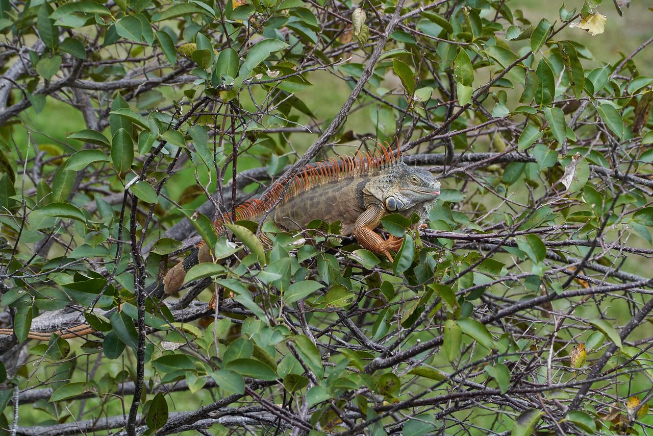 Iguana - now an invasive