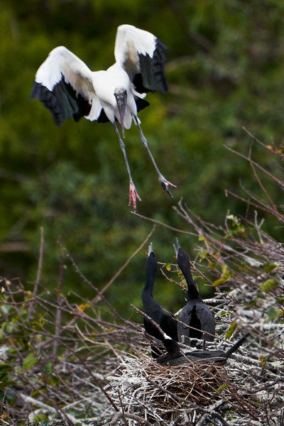 Wood Stork and Cormorants