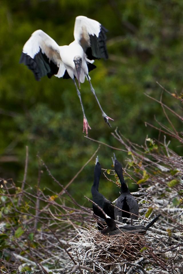Wood Stork and Cormorants