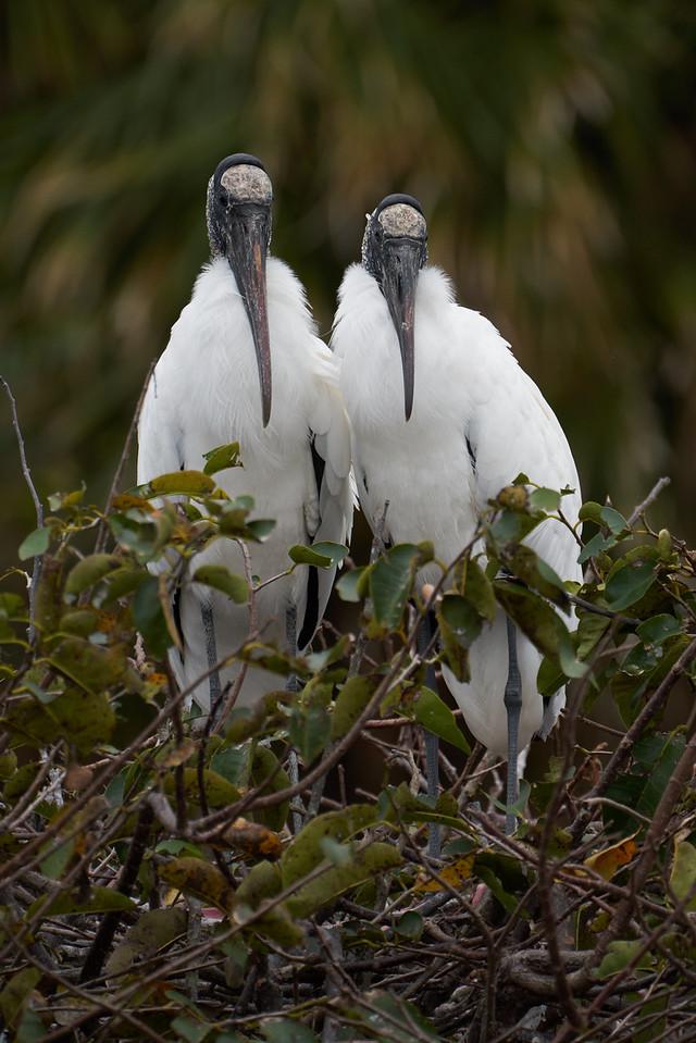 Wood Stork Couple