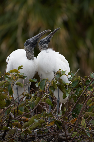 Wood Stork Couple