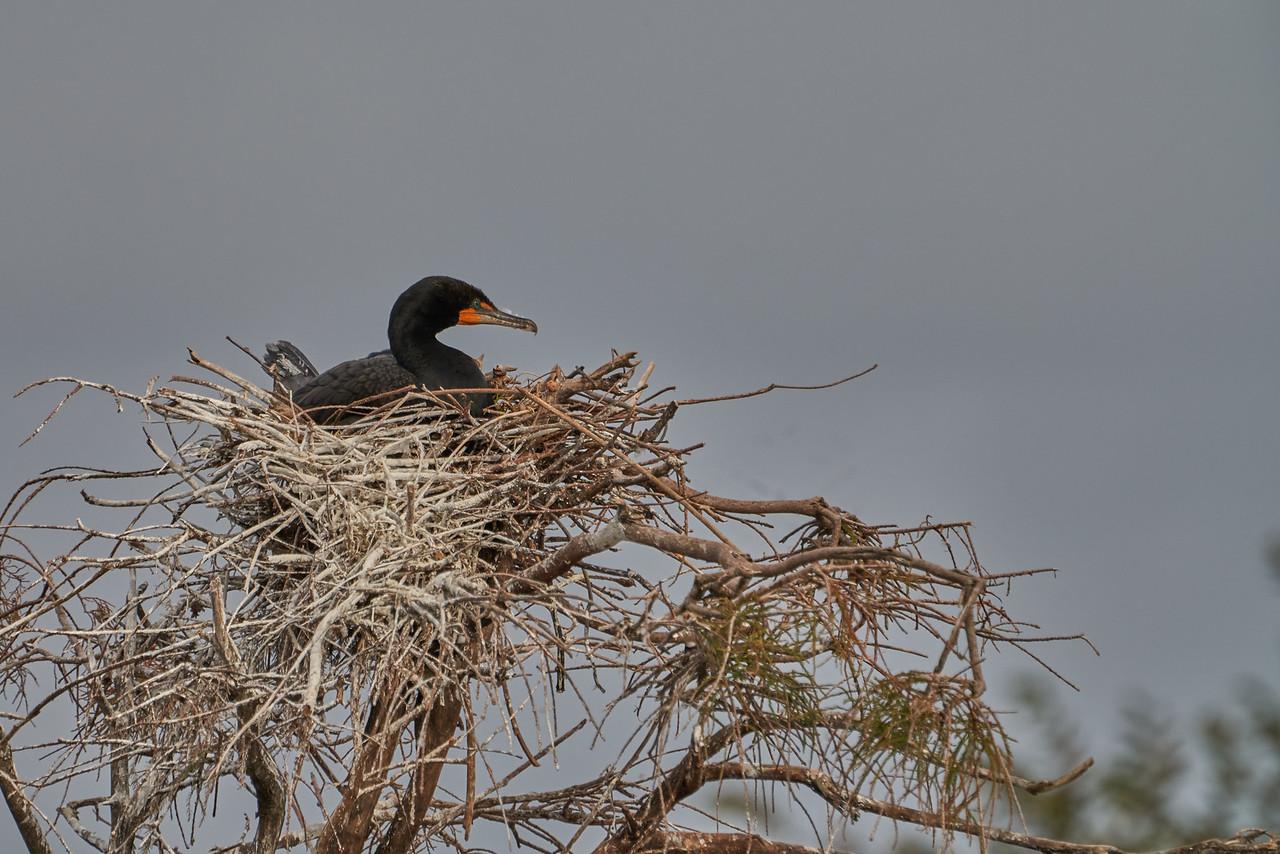 Anhinga on nest
