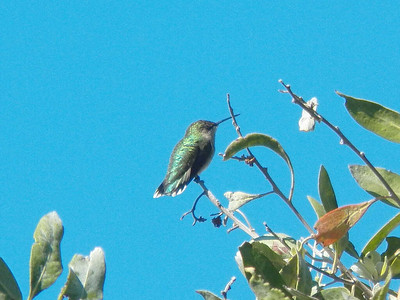 Ruby-throated Hummingbird, Dry Tortugas National Park