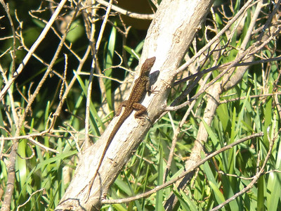 Cuban Brown Anole, Dry Tortugas National Park
