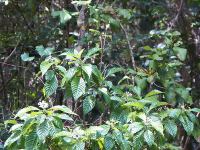 Wild Coffee, with a Cape May Warbler, Dagny Johnson Key Largo Hammock Botanical State Park