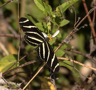 Zebra Longwing, Loxahatchee National Wildlife Refuge, FL
