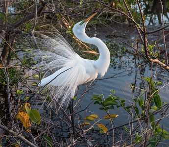 Great Egret in Breeding Plumage, Wakodahatchee Wetlands, Florida