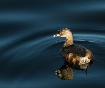 Pied-billed Grebe, Green Cay Nature Center, FL