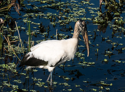 Wood Stork, Green Cay Nature Center, FL