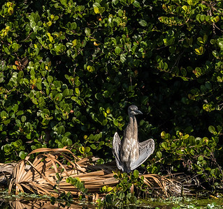 Yellow-crowned Night-heron (immature), Green Cay Nature Center, FL