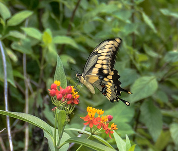 Giant Swallowtail, Gumbo Limbo Nature Center, FL