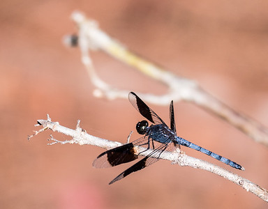 Band-winged Dragonlet Dragonfly (male)