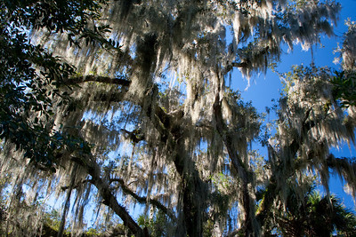 Spanish moss extravaganza at Blue Springs