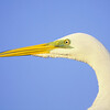great egret head