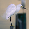snowy egret on piling