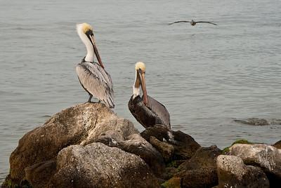 Pelicans at Sebastian Inlet