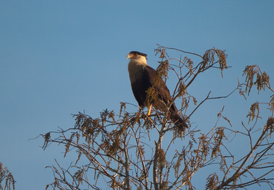 A caracara, a raptor found in central Florida. Photographically not the best image, but a good documentary shot of this rare bird.