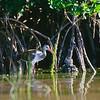glossy ibis juvenile in mangrove