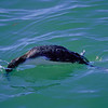 diving loon