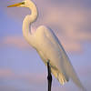 great egret on piling