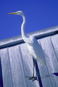 great egret on dock