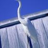 great egret on dock