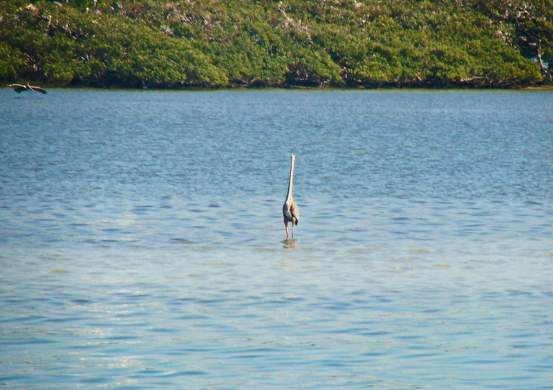 Heron and Pelican