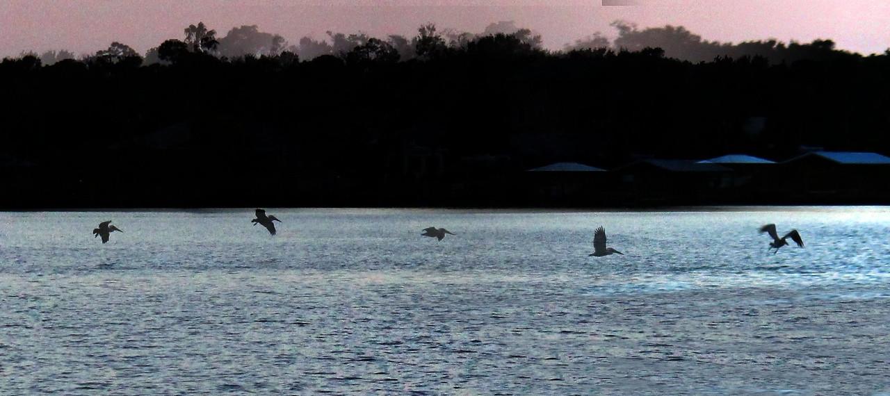 Pelican Fishing in Flight