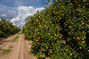 An orange orchard near Haines City, Florida, USA.