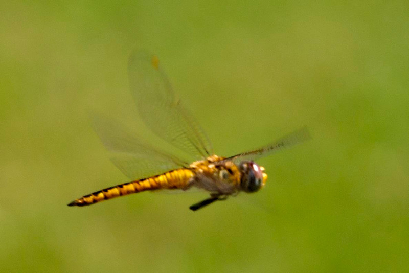 Wandering Glider in flight