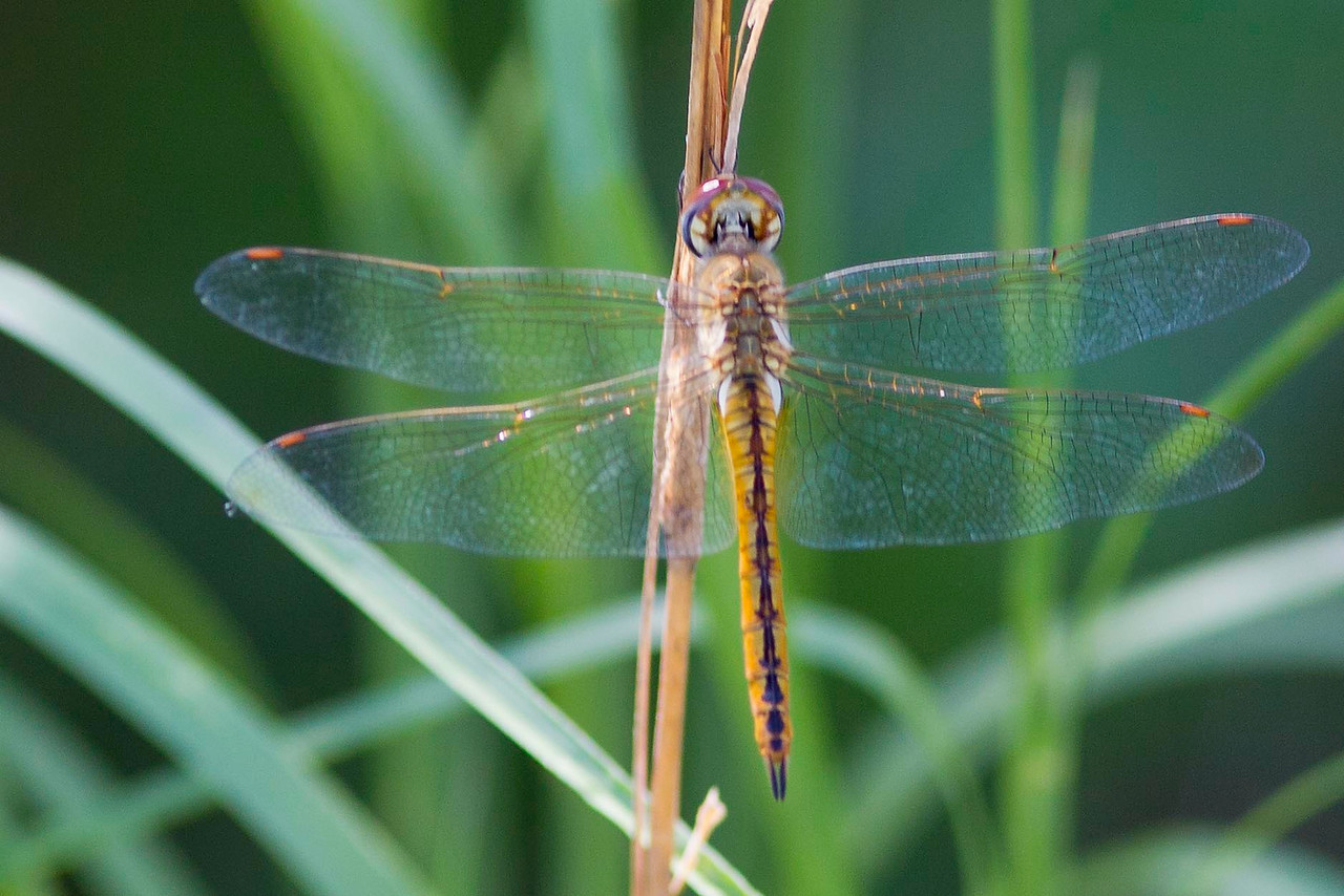 Needham Skimmer female