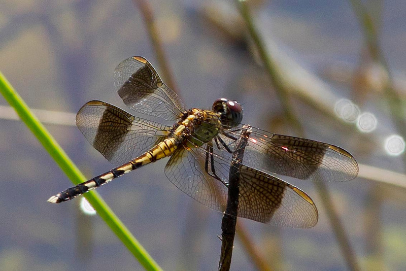 Band-wing Dragonlet