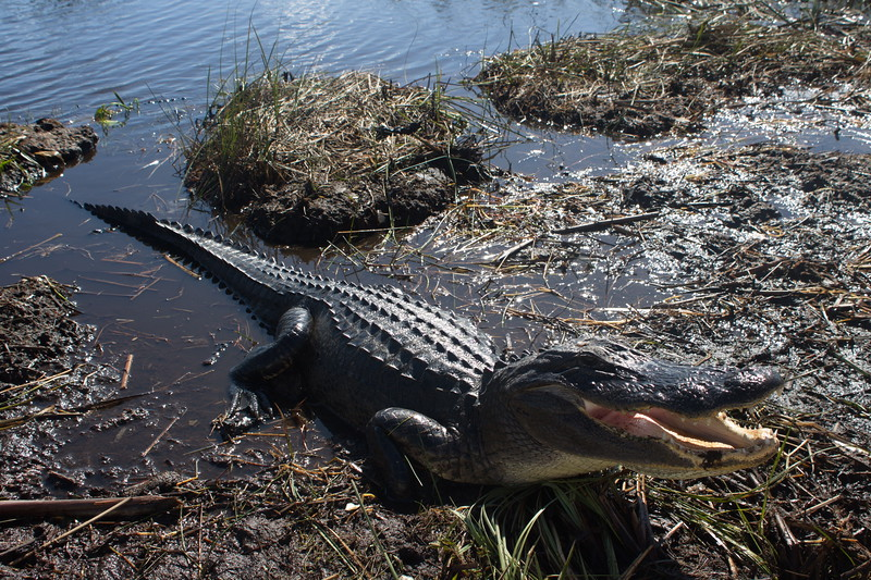 Alligator Ready to Eat